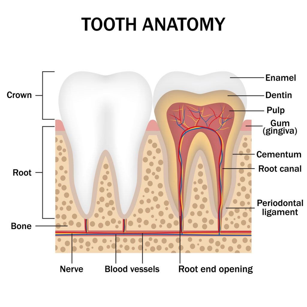 tooth anatomy painless root canal
